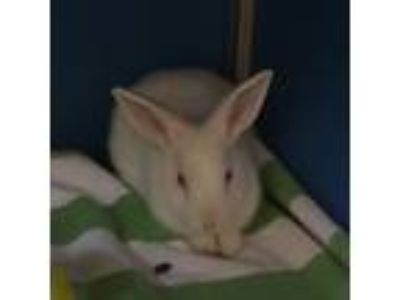 Adopt Blanc a White American / Other/Unknown / Mixed rabbit in Milwaukee