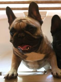 French Bulldog PUPPY FOR SALE ADN-91245 - Beautiful Fawn Pied carrier
