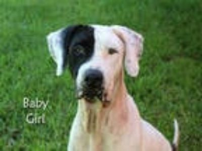 Adopt BABY GIRL a White - with Black Great Dane / American Pit Bull Terrier /