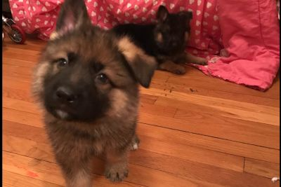 German Shepherd Dog Puppies LOWERED PRICE!