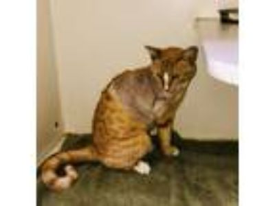Adopt TULIP a Tabby, Domestic Short Hair