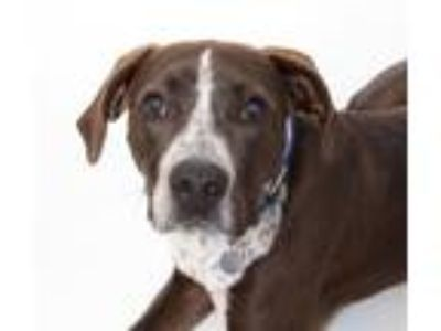 Adopt Axl a Border Collie, Pointer