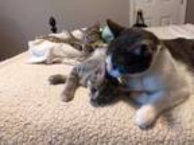 Adopt Jack and Jill a Gray, Blue or Silver Tabby Domestic Shorthair (short coat)