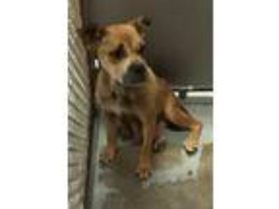 Adopt Hannah a Boxer / Mixed dog in Whiteville, NC (25904885)