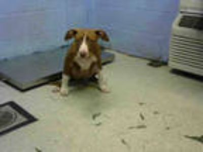 Adopt KOOKIE a Tan/Yellow/Fawn - with White American Pit Bull Terrier / Mixed