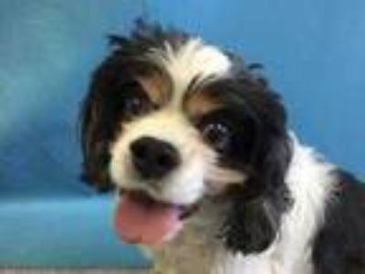 Adopt Patches a White Cavalier King Charles Spaniel / Mixed dog in St.