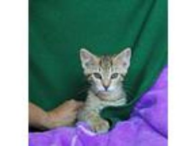 Adopt Jetson a Bengal, Tabby