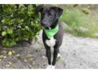 Adopt Luke a Black Border Collie / Mixed dog in Voorhees, NJ (25232968)