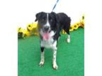 Adopt BREEZY a Black - with White Border Collie / Mixed dog in Marietta