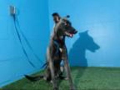 Adopt ONYX a German Shepherd Dog, Mixed Breed