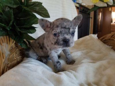 French Bulldog PUPPY FOR SALE ADN-113416 - AKC French bulldogs