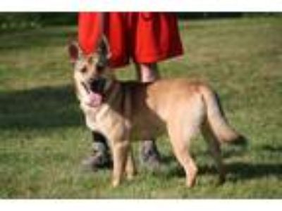 Adopt MICKEY a German Shepherd Dog