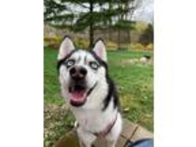 Adopt Akira a Black - with White Husky / Mixed dog in Fairport, NY (25283774)
