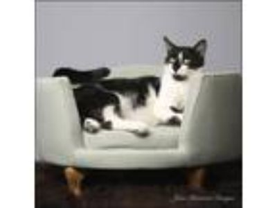 Adopt Rick a All Black Domestic Shorthair / Domestic Shorthair / Mixed cat in