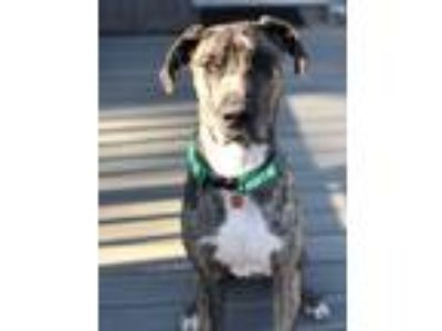 Adopt Gibson a Brindle Great Dane / Mixed dog in Minneapolis, MN (25542163)