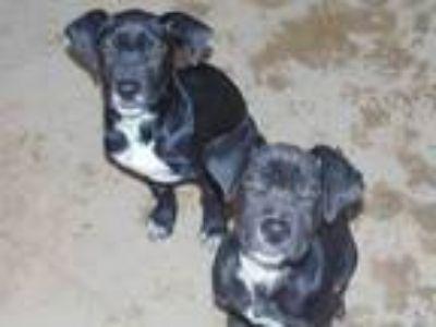 Adopt Bosley a Black Beagle / Labrador Retriever / Mixed dog in Las Cruces