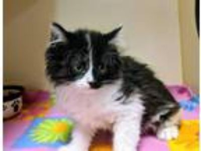 Adopt Frank a Black & White or Tuxedo Domestic Mediumhair (medium coat) cat in