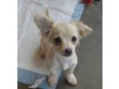 Adopt Shelley (Toy) a Tan/Yellow/Fawn Dachshund / Jack Russell Terrier / Mixed