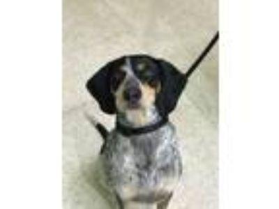 Adopt Ridley a Bluetick Coonhound