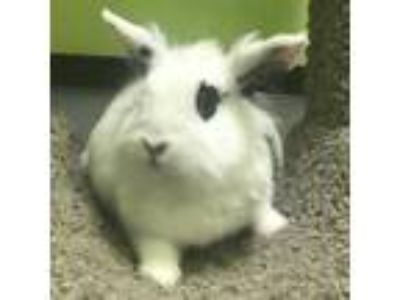 Adopt Floof a White Lionhead / Mixed rabbit in Janesville, WI (25494676)