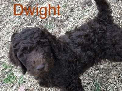 Poodle (Standard) PUPPY FOR SALE ADN-113971 - 8 week old Standard Poodles