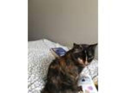 Adopt Car-o-mel a Tortoiseshell American Shorthair cat in Murray, UT (25581063)