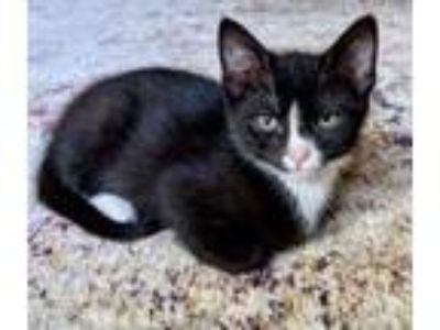 Adopt Sam a All Black Domestic Shorthair / Domestic Shorthair / Mixed cat in