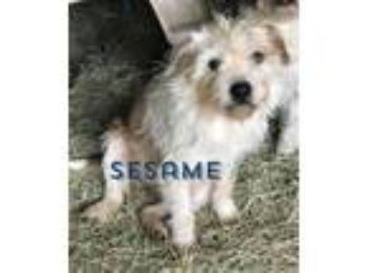 Adopt Sesame CG in MS a Terrier