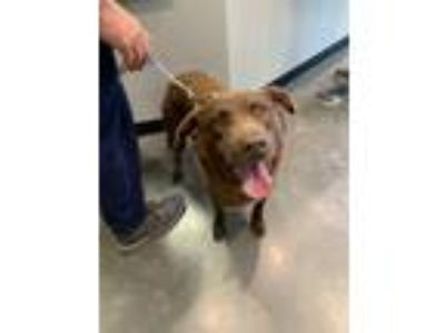 Adopt Bently a Brown/Chocolate Labrador Retriever / Mixed dog in Henderson