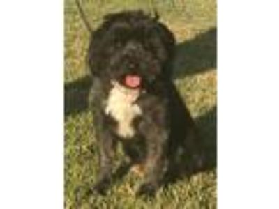 Adopt Neptune a Lhasa Apso, Poodle