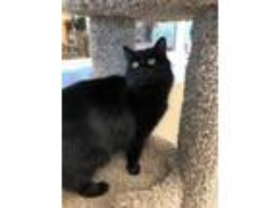 Adopt Binx a Domestic Long Hair