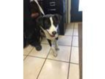 Adopt Joker a White - with Black Border Collie / Mixed Breed (Medium) / Mixed