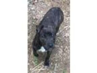 Adopt 389 a Brindle - with White Pit Bull Terrier / Mixed dog in Bloomfield