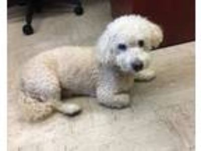 Adopt FOZZY *COURTESY POST* a Poodle, Bichon Frise