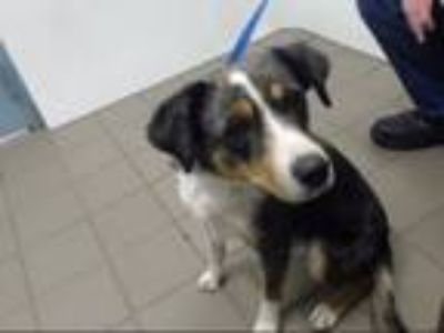 Adopt BUDDY a Australian Shepherd, Mixed Breed