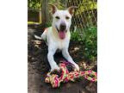 Adopt Greta a Labrador Retriever
