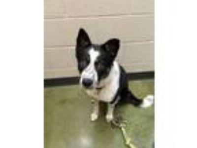 Adopt Melody a Border Collie, Mixed Breed