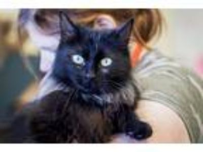 Adopt Piglet a Domestic Longhair / Mixed cat in Napa, CA (25551164)