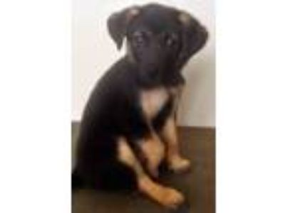 Adopt Layla a Black - with Tan, Yellow or Fawn Australian Shepherd / Mixed dog