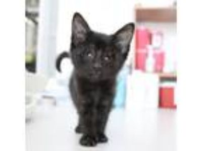 Adopt Natasha a All Black Domestic Shorthair cat in Los Angeles, CA (23564308)