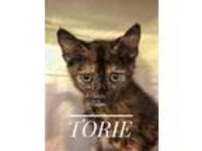 Adopt Torie a Domestic Shorthair / Mixed (short coat) cat in Gautier