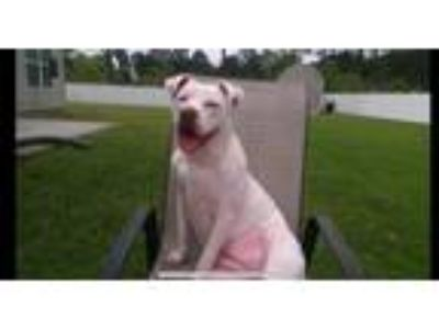 Adopt Bubs (courtesy post) a White - with Black American Staffordshire Terrier /