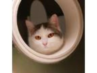 Adopt Alice a White Domestic Longhair / Domestic Shorthair / Mixed cat in