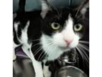 Adopt Emmie a Domestic Short Hair