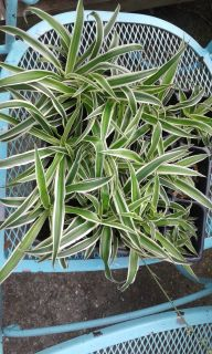 Flat of over 12 airplane plants