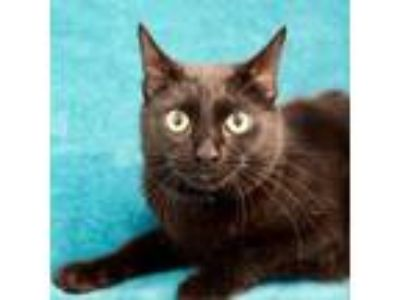 Adopt Spice a All Black Domestic Shorthair cat in Culver City, CA (25648346)
