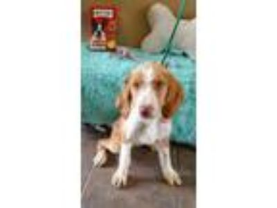 Adopt Odessa a Red/Golden/Orange/Chestnut Terrier (Unknown Type