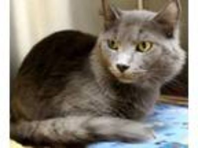 Adopt 30423 - Mayfield a Turkish Angora