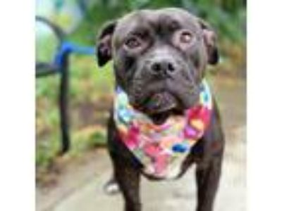 Adopt Nellie a Black - with White American Pit Bull Terrier / Mixed dog in