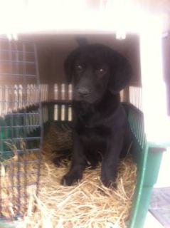 Black Lab mix Puppy for Sale